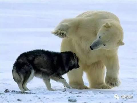 北极熊痛失爱子, 将雪橇犬当成亲生孩子,搂着二哈不放手!