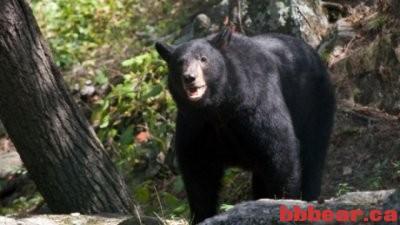 加拿大油田女工惨遭黑熊拖走被咬逝世 旁人吓呆